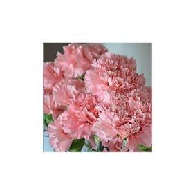 Futaba Carnation Flower seeds - 100 Seeds