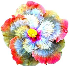 Futaba Rainbow Giant Hibiscus Flower Seed - 50 pcs