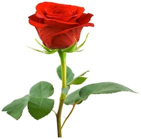 Futaba Red Rose Seeds Rare Patio Potted Flowering Plants Rose Seeds - 100 Seeds
