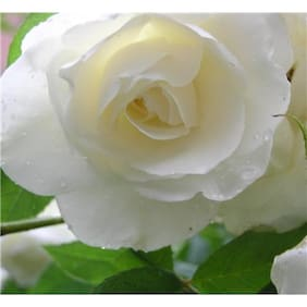 Futaba White Rose Seeds - 50 pcs