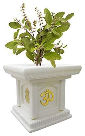 Getflix Live Shyama Tulsi Plant With Pot