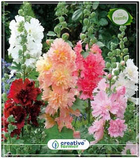 Hollyhocks Mixed Plant Seeds Season Perfect Home Garden Plant Seeds