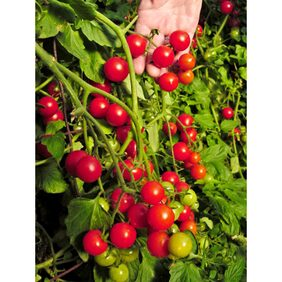 Hybrid Cherry Tomato Aone Seeds - Pack of Above 50 Seeds