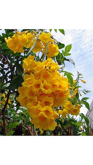 Buy indian tecoma stansyellow color flower tree seeds sold by v indian tecoma stansyellow color flower tree seeds sold by v square retail mightylinksfo