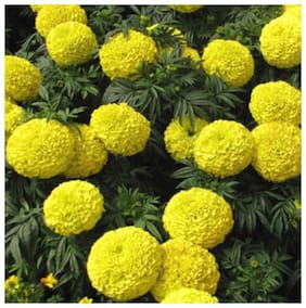 Indian Yellow Marigold Magnif Flowers Seeds - Pack of 50 High Germiantion Seeds