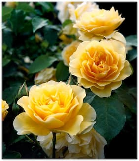 Infinite Green Live Eng Rose Graham Thomas Beautiful/Charming Flower Plant With Mud For Home Garden (Height: 1 feet to 2 feet) - Healthy Live 1 Plant