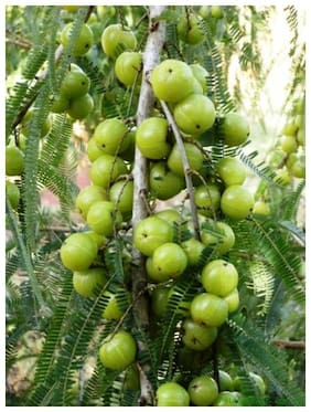 Infinite Green Live Kanchan Amla Tasty / Delicious Fruit Plant With Mud For Home Garden (Height: 1 feet to 2 feet) - Healthy Live 1 Plant