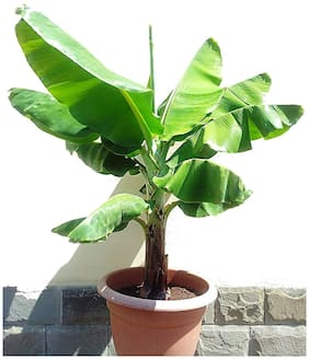 Infinite Green Live Banana Tasty & Delicous Fruit Plant With Mud For Home Garden Healthy Live 1 Plant