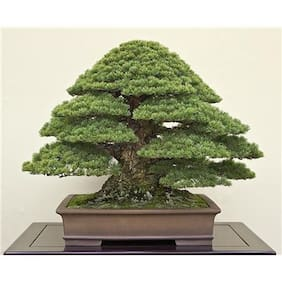 Japanese Black Pine Bonsai Seeds by National Gardens