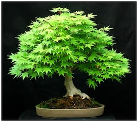 Japanese Maple (acer palmatum) Bonsai Maple Tree Seeds Sold By- V Square Retail