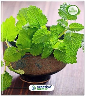 Japanese Mint/Menthol Mint. Herb Seeds For Kitchen Garden Perfect Home Garden Plant Seeds