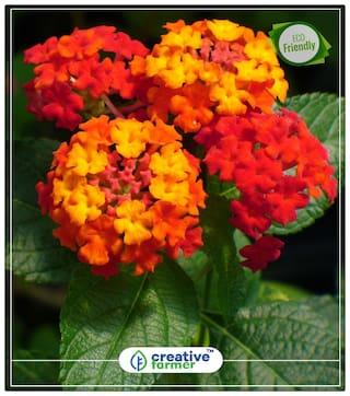 Buy Lantana Camara Flower Plant Seeds Perfect Home Garden Plant
