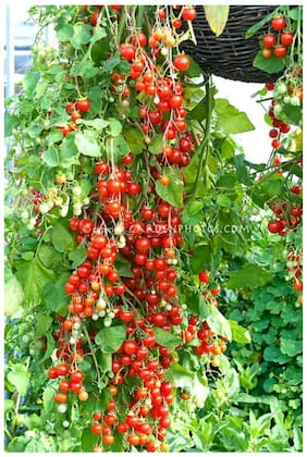 long rare tomato tree seeds 10 per packet