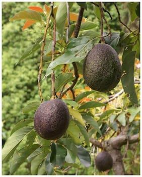 M-Tech Gardens Rare Persea americana Avocado Fruit 1 Healthy Seedling Live Plant