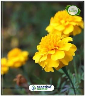 Marigold Flower Seeds Hybrid Yellow Gardening Seeds For Garden Perfect Home Garden Plant Seeds