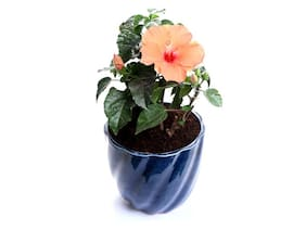 OjOrey Hibiscus Flower Plant (Gudhal Paudha)