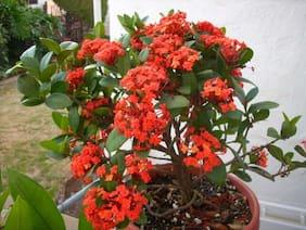 OjOrey Ixora Flower Plant Coccinea english
