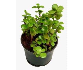 OjOrey Jade Plant (Crassula Ovata)