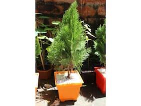 OjOrey Morpankh plant (thuja) morpankhi