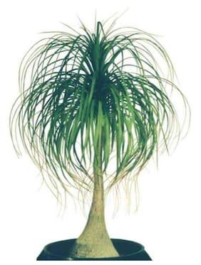 OjOrey Ponytail Palm Plant