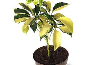 OjOrey Saplera Yellow leaf plant