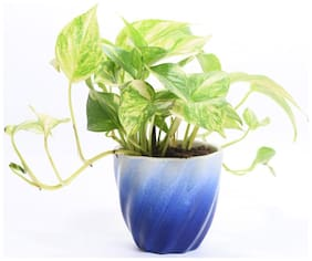 Ombre enjoy money plant