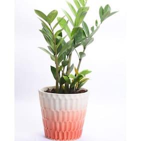 Ombre ZZ plant