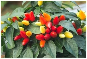 Ornamental Seeds : Ornamental Capsicum Seeds For Kitchen Garden Pack Garden [Home Garden Seeds Eco Pack] Plant Seeds By Creative Farmer