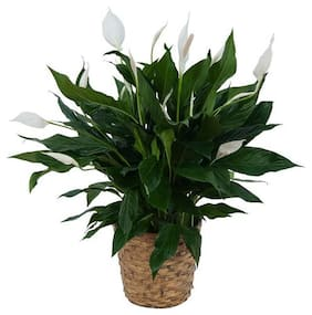 Peace Lily or Spathiphyllum Green Color Indoor Plant