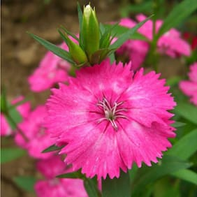 Pink Dianthus Flower Plus Quality Seeds For Home Garden