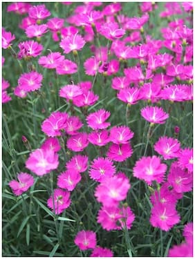 Pink Dianthus Flower Peremium Hybrid Seeds For Home Garden