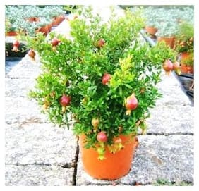 Plant House Live Chinese Pomegranate/Anar Fruit Plant