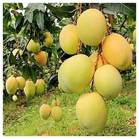 Plant House Live Grafted Alphonso Mango Aam Fruit Plant
