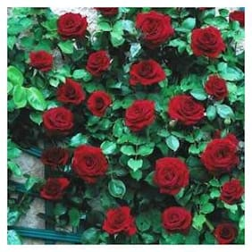Plant House Live Climbing Rose Black Boy Flower Plant