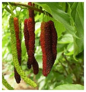 Plant House Live Red Long Mulberry/Shahtoot Fruit Plant