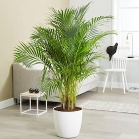 Plant House Live Areca Palm Indoor/Outdoor Air Purifier Plant