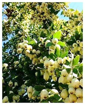 Plant House Live Chinese Guava/Amrood Fruit Plant