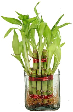 Ferns N Petals Plant Name- Two Layer Lucky Bamboo. Plant Placement- Indoors;Plant Height- Upto 5 inch;Square Glass Vase