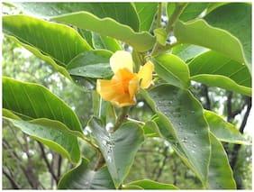 Plantzoin Golden Champa Champak Magnolia champaca Champa Live Plant