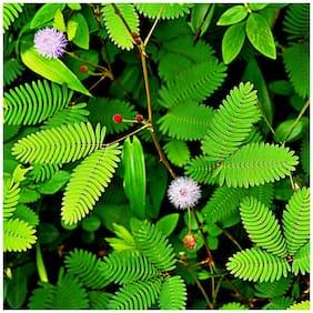 Plantzoin Touch-me-not Chui-mui Mimosa pudica Lajakulilata Live Plant