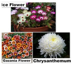 R-DRoz Combo Offer 3 Flowers Seeds for Home Garden (Gazania;Chrysanthemum & Ice Plant Flower) 40 Seeds per Packet (Total 120 Seeds)