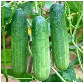 R-Droz Cucumber F1 Hybrid Vegetables Seeds - Pack Of 30 Seeds F1 Hybrid