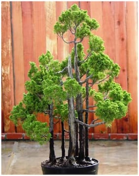 Rare And Imported Dawn Red Wood Bonsai Tree Seeds