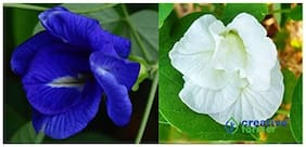 Rare Combo Of Double Layered White And Blue Butterfly Pea Seeds Clitoria Ternatea Combo Pack For Home Garden-10 Seeds Each by Creative Farmer
