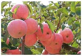 rare dwarf apple tree seeds 10 per packet