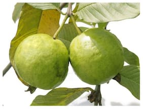 RDS Garden Bonsai Thai Guava Fruit Plant Seed Pack of 50 Seed