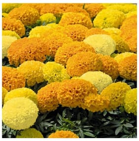 RDS Garden Rare Yellow Mix Marigold Flower Seed Pack Of 20