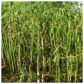 Recron Seeds Hybrid Drumstick Moringa Oleifera Short Dwarf Variety Vegetable Seeds