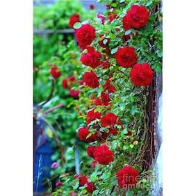 Red Climbing Rose Flower Seeds by National Gardens