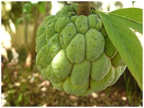 Rosemary Custard Apple Seeds